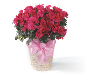 Azalea from Bolin-Reeves, your Birmingham, AL florist