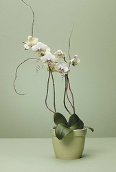 Orchid Plant from Bolin-Reeves, your Birmingham, AL florist