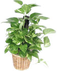 Pothos from Bolin-Reeves, your Birmingham, AL florist